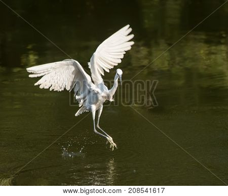 egret play in waterland