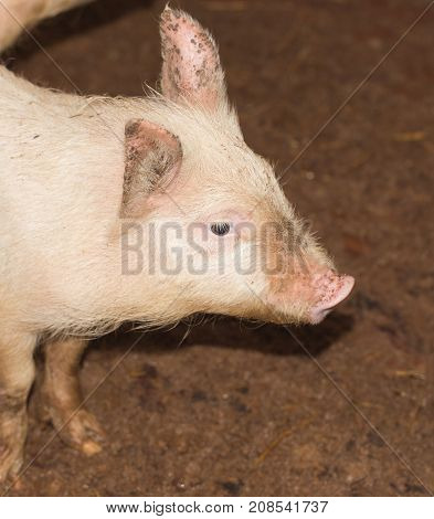 portrait of a pig on a farm .