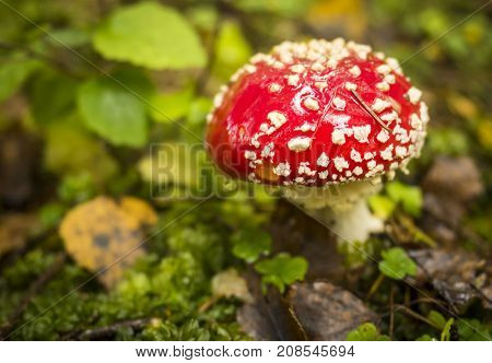 Bright red poisonous mushroom Amanita muscaria commonly known as the fly agaric or fly amanita grows in summer European forest