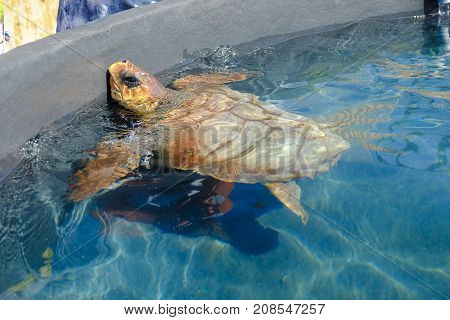 Loggerhead sea turtle in a pool in a Turtle Nursery in Morro Jable Fuerteventura Spain.