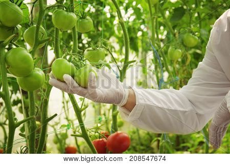 Farmer with tomatoes in greenhouse, closeup