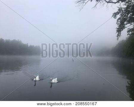 Swans on a river; autumn, mist