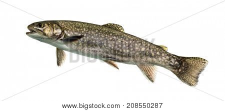 Brook trout swimming, isolated on white