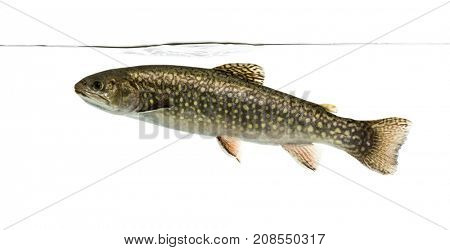 Brook trout swimming under water line, isolated on white