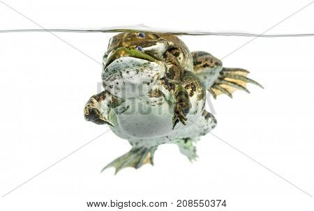frogs copulating under clear water, isolated on white