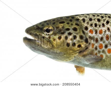 Close-up of head of brown trout, isolated on white