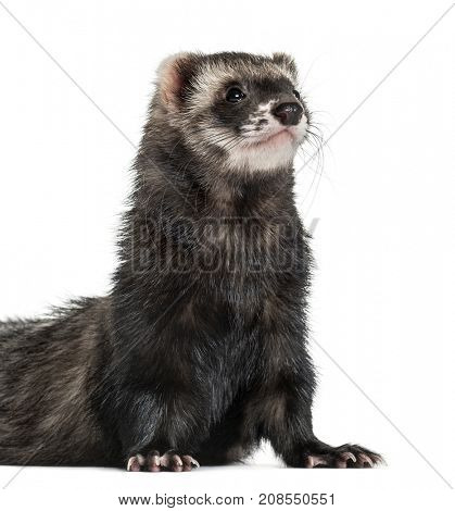 ferret standing on his front paws, isolated on white