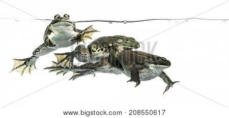 Three frogs under clear water, isolated on white