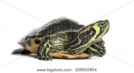 Pond slider turtle, isolated on white