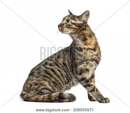 European Shorthair looking backwards, isolated on white