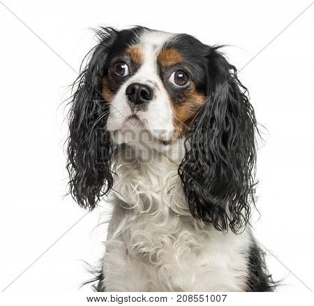 Close-up of a cavalier charles, isolated on white