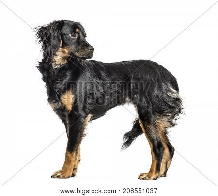 Close-up of a mixed-breed dog looking backwards, isolated on white