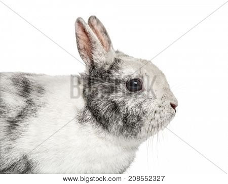 Close-up of a dwarf rabbit, isolated on white