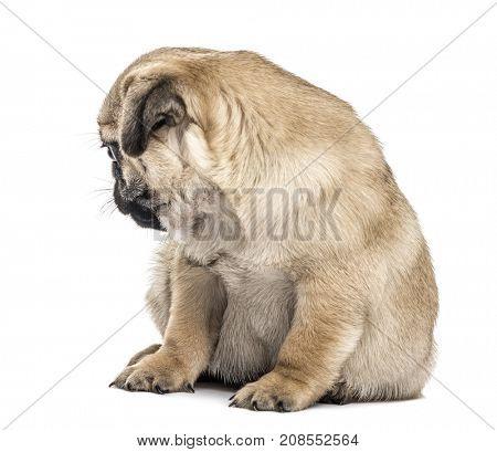 Pug puppy sitting, looking backwards, isolated on white