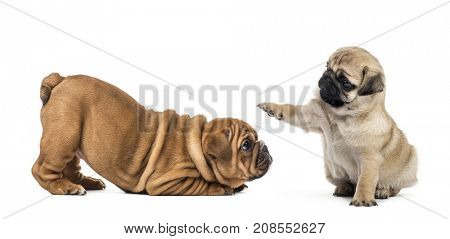 Pug and english bulldog puppies playing, isolated on white