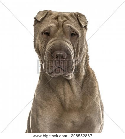 Close-up of a shar Pei, isolated on white
