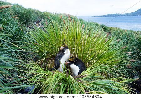 penguins play in grassy cliff in antarctic