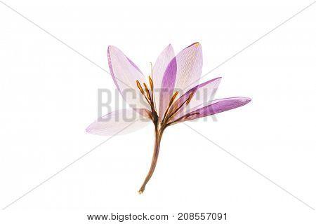 dry crocus flowers