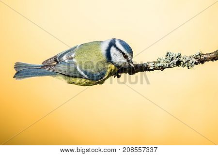 Colorful Male Blue-tit Jumps Off Dry Twig