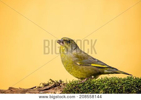 Colorful Male Greenfinch Sit On Dry Twig Covered By Moss