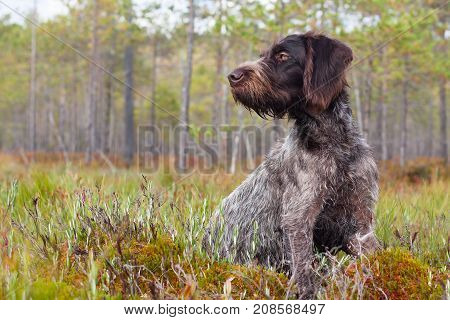german wirehaired pointer sitting on the swamp
