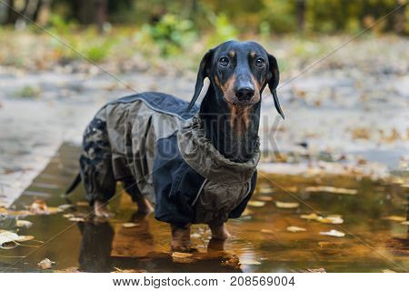 portrait of look at camera dog Dachshund breed black and tan dressed in a raincoat standing in a puddle cool autumn weather