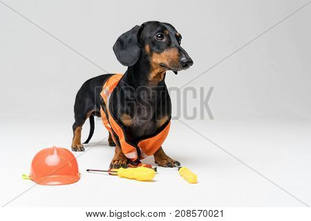 Dog builder dachshund in an orange construction helmet with various construction tools (screwdriver pliers) on gray background