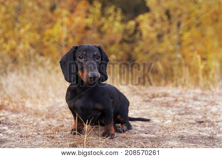 funny portrait of a dog (puppy) breed dachshund black tan in the green forest in the autumn park