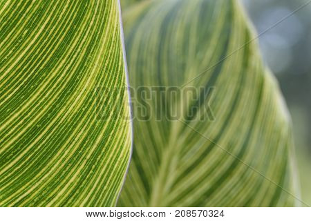 Selective Focus of Canna Lily Leaves in Garden