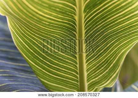Striped Pattern of Canna Lily Leaf - Closeup View