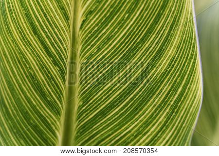 Closeup of One Canna Lily Leaf in Soft Light