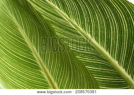 Canna Lily Leaves - Closeup of Two Leaves