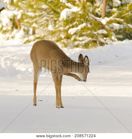 Whitetail fawn in the winter scratching itself