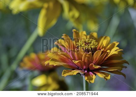 Wide view of a vibrant yellow/red flower with others in soft focus background near Bathurst, New Brunswick on a bright sunny day with blue skies and clouds in August.