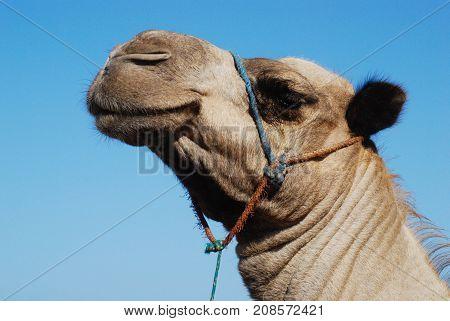 Dromedaris smiley camel face with a blue sky background