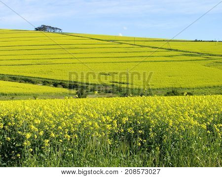 SUMMER LANDSCAPE, WITH YELLOW AND GREEN FIELDS, STARTING FROM THE FORE GROUND RIGHT UP TO THE HORIZON 04g