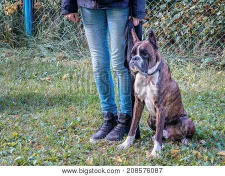 boxer dog sitting near his owner legs during the dog obedience course