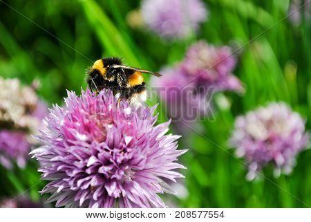 A Bumblebee Pollinating a Chive Flower (Allium schoenoprasum)