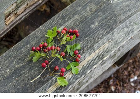 Branches of Hawthorn or Crataegus berries and leaves, Sofia, Bulgaria