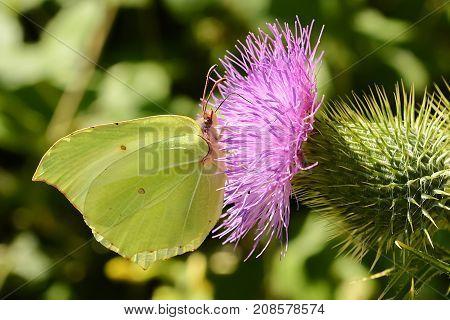 Yellow butterfly on thistle flower. Common brimstone. Gonepteryx rhamni.