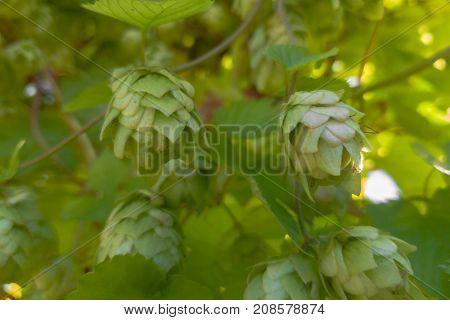 Hop flowers growing on hop plant (Humulus lupulus) in autumn. Hops are an ingredient in beer as well as herbal medicine.