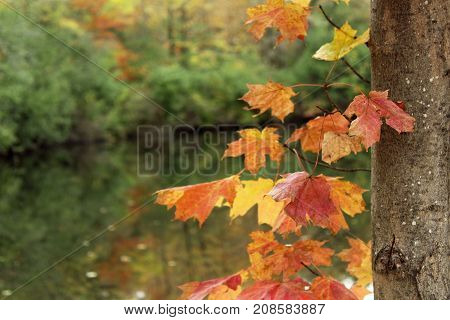 Orange maple leaves and tree trunk frame background with pond and tree line.