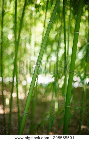 Green Bamboo Forest In China. selective focus