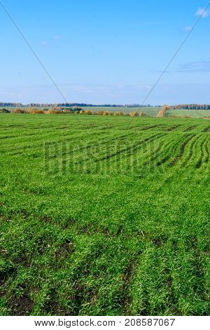 Wheat Young Green Field In Autumn Winter