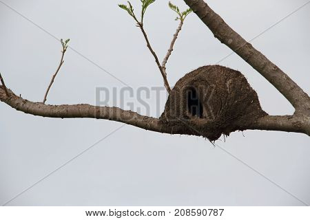 nest of baker on green and bare branches