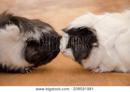 Two cute black and white Abyssinian guinea pigs touching nose to nose (against a wooden background)