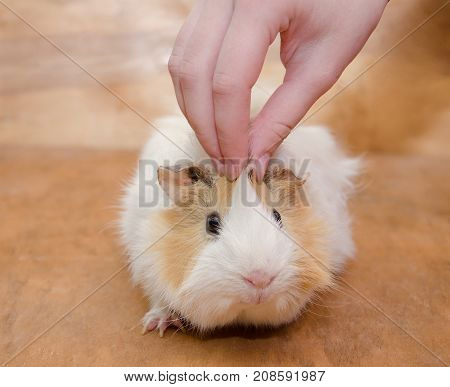 Human hand a cute Abyssinian guinea pig (against a wooden background)