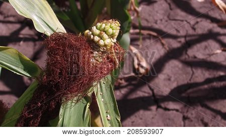 Worm is a pest on corn. Corn field agriculture. corn farm green grass agriculture united states nature video usa farm corn