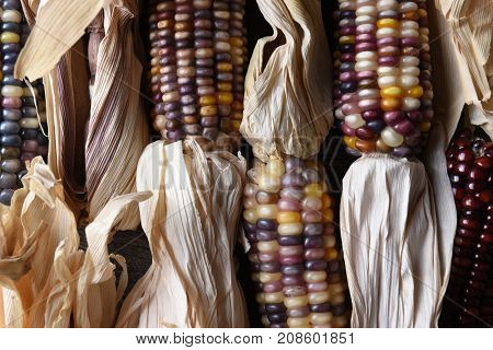 High angle closeup shot of a group of flint corn cobs with husks