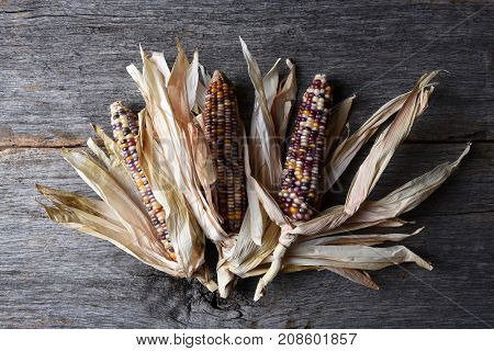 High angle shot of a group of flint corn cobs with husks. Also known as Indian Corn, Calico Corn and Ornamental Corn.
